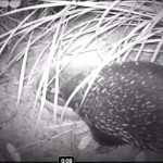 Echidna drinking past bedtime