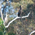 Cormorants and a Heron