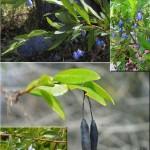Blue Bell Creeper (Sollya heterophylla) weed